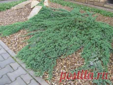 Можжевельник горизонтальный (Juniperus horizontalis) Wiltonii