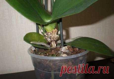 Гниение сердцевины у орхидеи, ищем выход