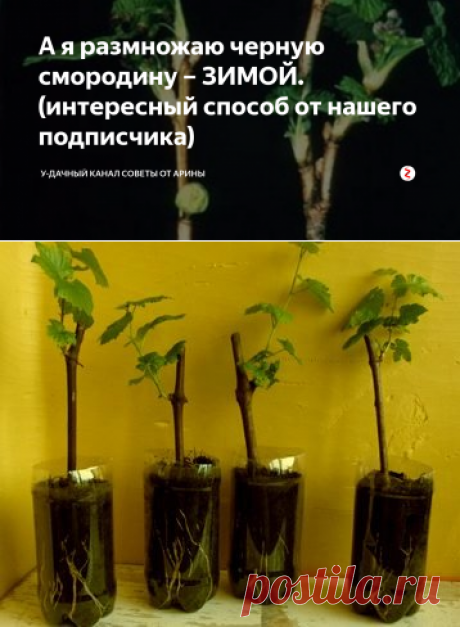 А я размножаю черную смородину – ЗИМОЙ. (интересный способ от нашего подписчика)   У-Дачный канал советы от Арины   Яндекс Дзен
