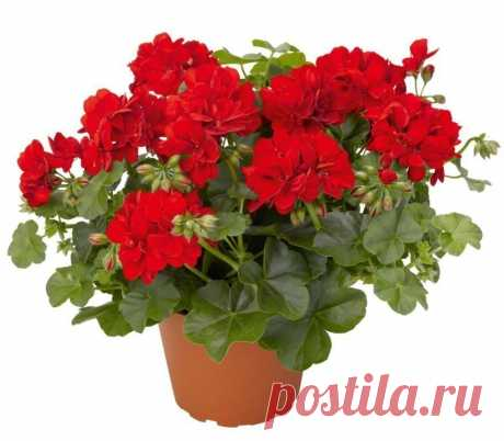 AS it is CORRECT to CUT OFF the GERANIUM THAT IT MAGNIFICENTLY BLOSSOMED correctly to cut off a geranium, it is necessary to consider flower type. It can be long-term and one-year. It is not obligatory to cut off an annual plant. It should be done only for change of a form of a plant …