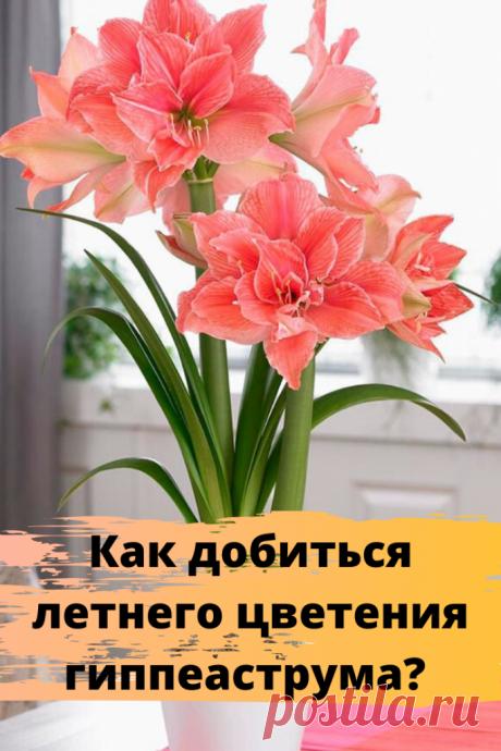 Как добиться летнего цветения гиппеаструма?