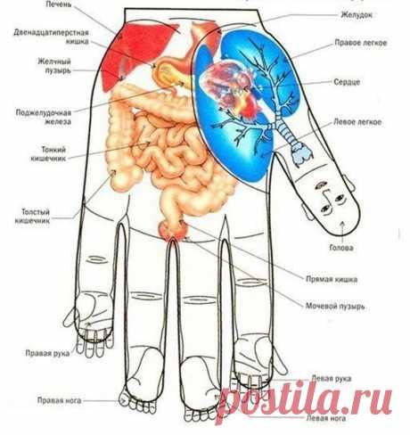 Los puntos en la mano, la conformidad a los órganos del cuerpo.