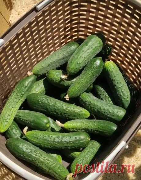 Мои огурцы стоят зеленые ДО СЕНТЯБРЯ и НЕ болеют. Делюсь обработкой, которая помогает получать ОБИЛЬНЫЙ урожай | 6 соток