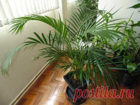 Особенности домашних пальм