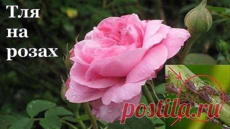 Йод и молоко прогнали тлю с моих роз