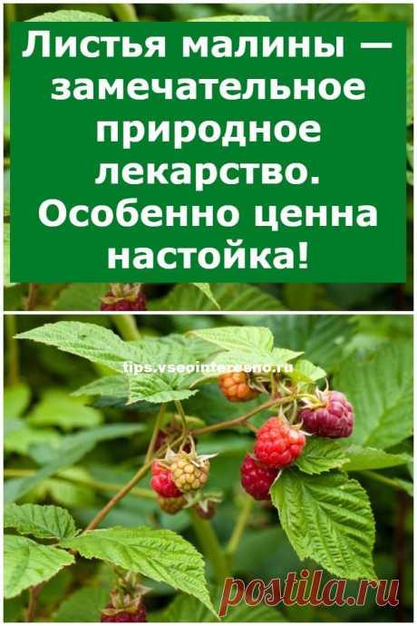Листья малины — замечательное природное лекарство. Особенно ценна настойка! - tips