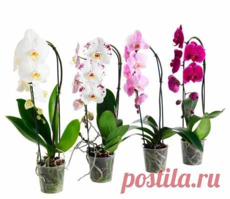 Орхидея будет буйно цвести круглый год: 9 важных правил, о которых знают не все