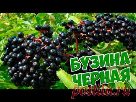 Черная бузина 🌱 Полезные свойства и особенности выращивания сад огород