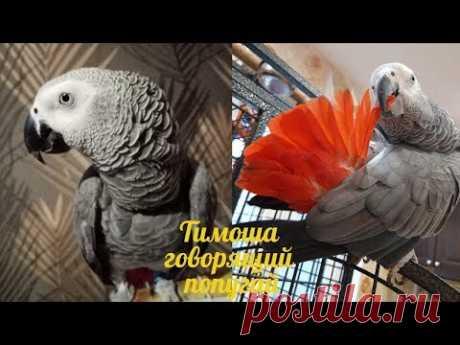 Тимоша говорящий попугай, порода Жако. Подборка видео #5