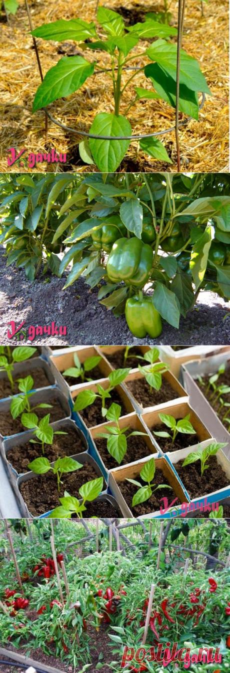 Как вырастить перец, агротехника, рассада, уход, полив, сбор урожая | У дачки