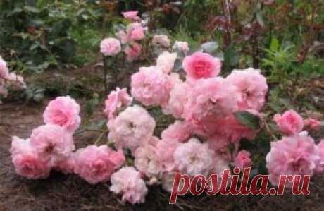 Лучшие сорта почвопокровных роз для Подмосковья (описание, отзывы)