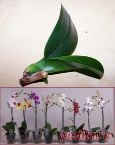 Как размножить орхидею Фаленопсис? — Полезные советы
