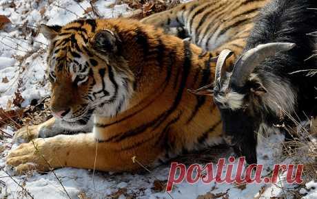 Амур и Тимур: а вот козлов тиграм прошу больше не предлагать | Большие фото новости