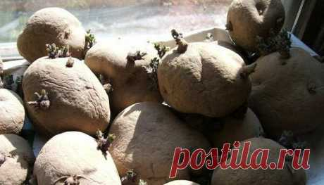 Почему нельзя мелкую картошку сажать? Какие должны быть глазки: зеленые или белые | 6 соток