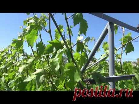 Работа с пасынками на винограднике и прищипывание точки роста.