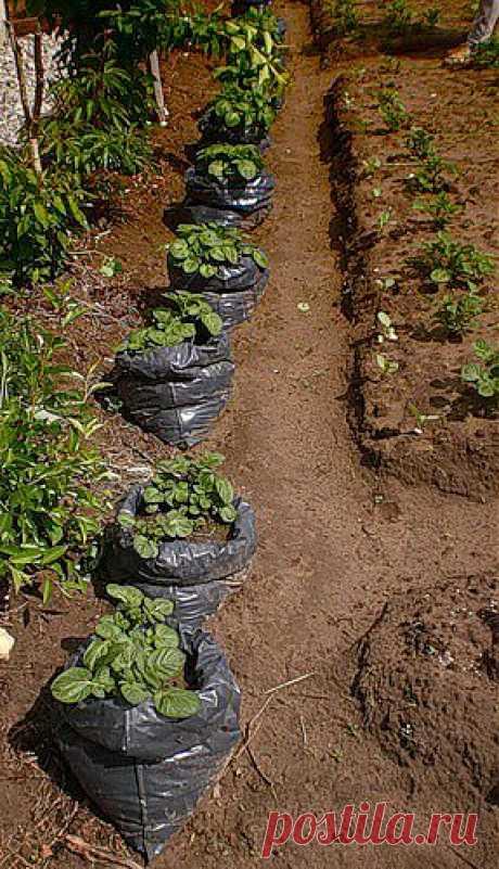 Интересный способ посадки картофеля - в мешки!.