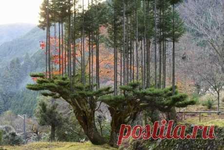 В XIV веке в Японии зародилась техника заготовки древесины без вырубки деревьев под названием дайсуги. Технику изобрели в регионе Китаяма, для этого японцы берут особый сорт кедрового дерева и подрезают его так, чтобы его ветки вырастали в виде длинных и ровных стволов. Их можно спокойно срезать, не вырубая само дерево. Кедровые деревья при этом выглядели очень элегантно, поэтому когда спрос на древесину упал, их стали выращивать таким методом и чисто в декоративных целях.