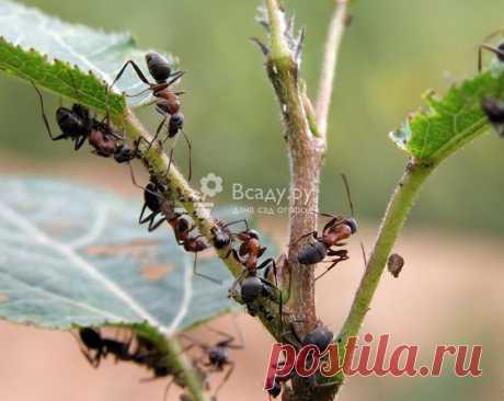 Защита сада огорода от муравьев, безопасные методы