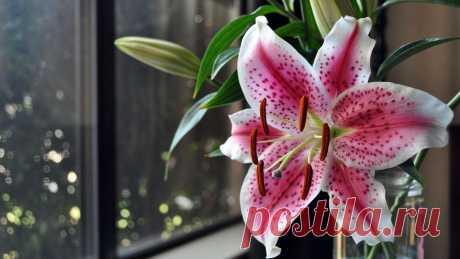Обои Цветок лилии на окне на рабочий стол