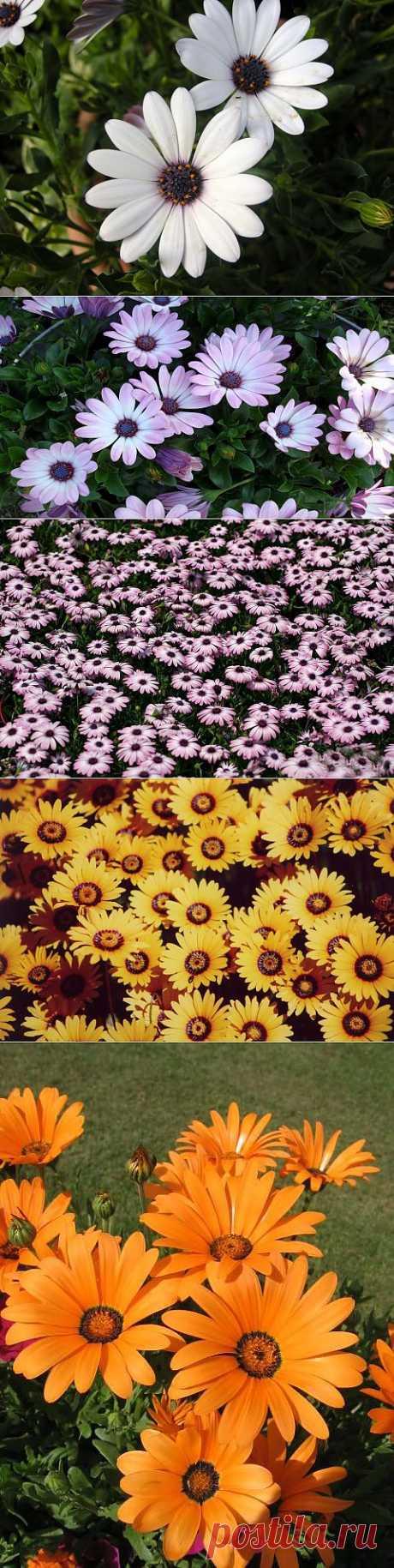 Диморфотека – идеальное растение для оконных ящиков и не только.Посадка, уход,виды. Долго выбирая, что посадить в оконные ящики, я остановила свой выбор на капских ноготках, говоря языком научным — диморфотеке, прекрасному растению с нежными, невероятно трогательными цветами.