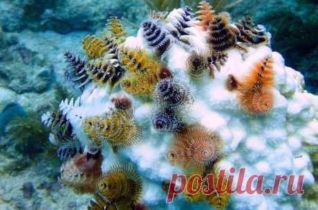 Фото дня. Очаровательные обитатели тропических морей под названием Spirobranchus giganteus.
