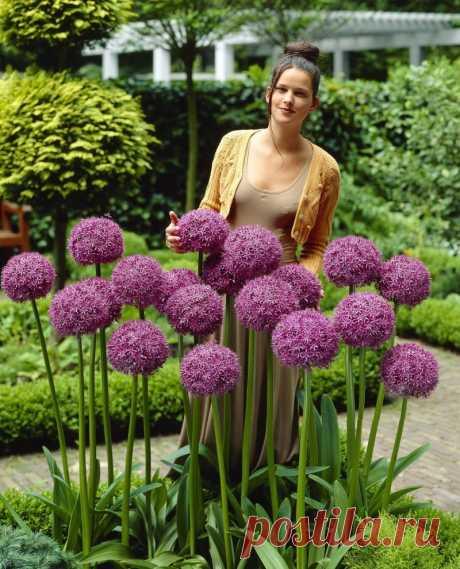 Цветок лук декоративный посадка, уход (аллиум)