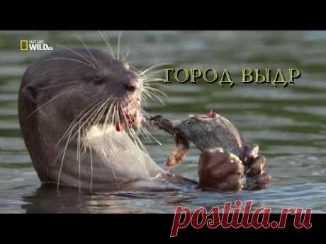 Nat Geo Wild: Город выдр (1080р)