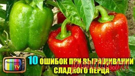10 MISTAKES AT CULTIVATION OF SWEET PEPPER