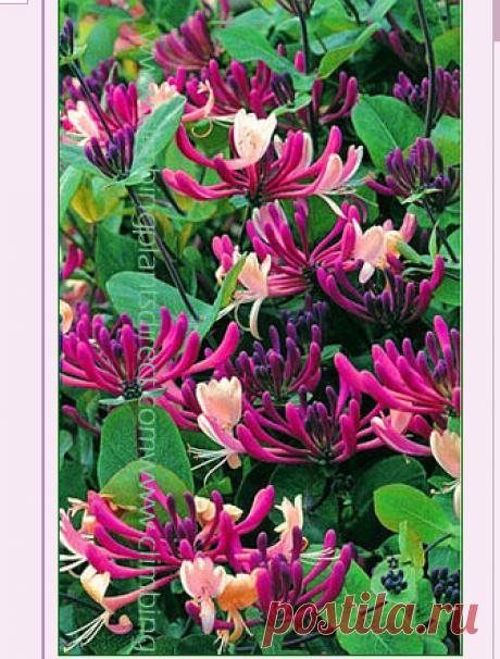 Вьющиеся растения Директ