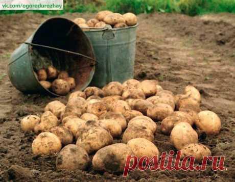 40 клубней картофеля с куста!