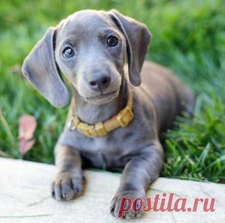 (348) Isabella dachshunds always remind me of squash-and-stretch Weimeraners. So cute! | Dachshund Darlings
