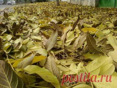 Можно ли с пользой применить листья грецкого ореха в саду? | Садовый рай 🌱 | Яндекс Дзен