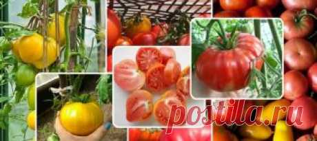 Какие сорта томатов обязательно посеете для будущего сезона?