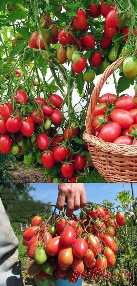 """Чтобы томаты не """"жировали"""" зеленью: 5 приемов   6 соток"""