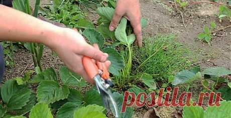 Правильный уход за клубничными грядками весной обеспечит вас богатым урожаем в течение лета! Простые правила..