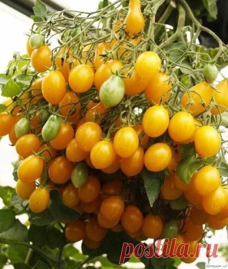 Опыт выращивания томатов одной огородницы — Садоводка