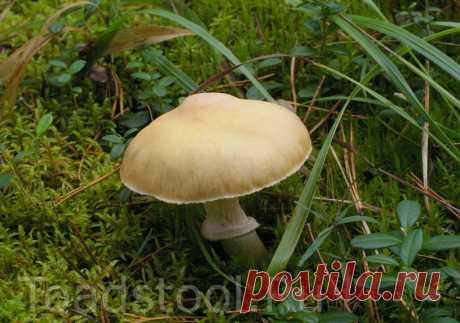 Колпак кольчатый - гриб двуликий | Это грибы! | Яндекс Дзен