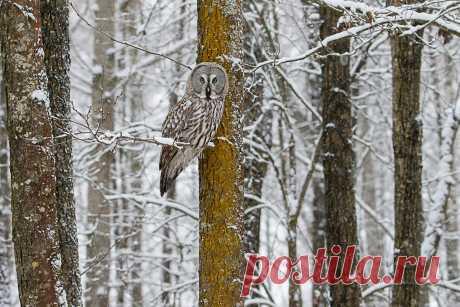 """""""Сова в зимнем лесу"""" / Palych Бородатая неясыть  #photocentra"""
