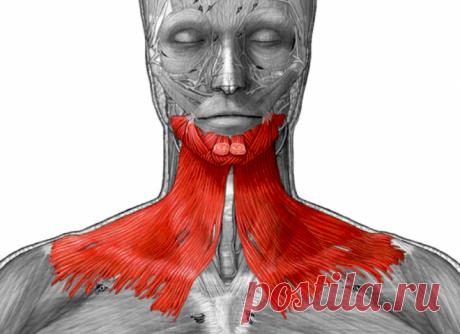 Платизма - это мышца на шее, которая отвечает за ее красоту