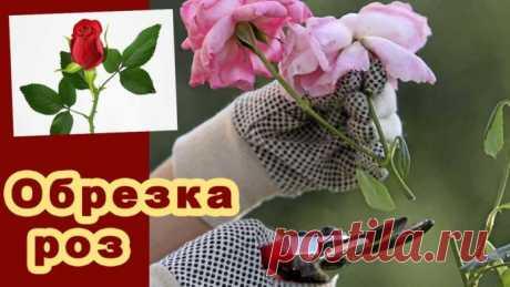 Как обрезать розы весной после зимовки, летом и осенью