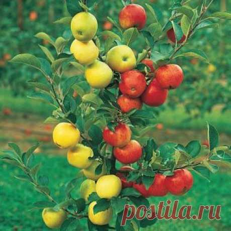 Деревья Франкенштейна Пост познавательный для тех, кто не знал, что существует в садоводстве такое понятие, как дерево-сад - дерево, на котором могут расти сразу несколько сортов фруктов, а то и просто разные фрукты разных видов...