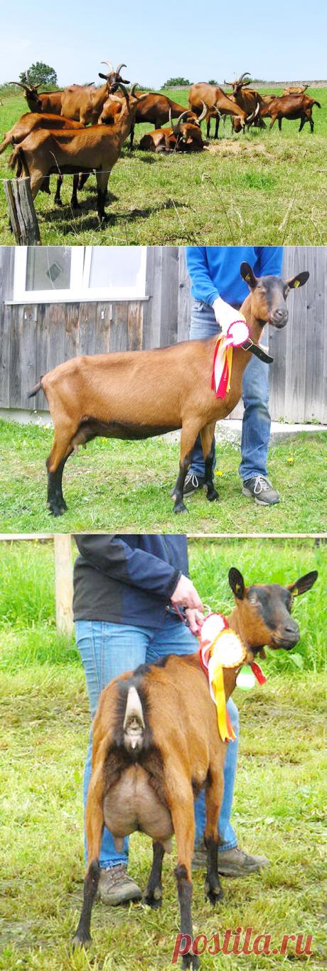 Альпийские козы – описание и характеристика породы, фото и видео