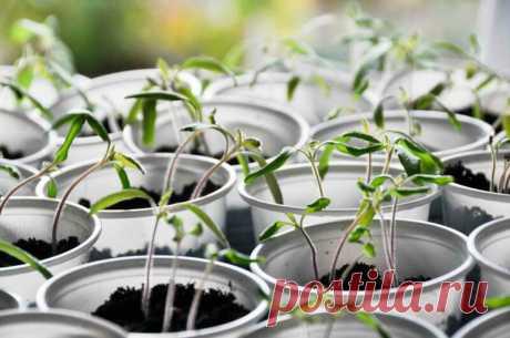 Самые распространенные ошибки при выращивании помидорной рассады Добрый день, мой читатель. Выращивание помидоров — несложное занятие. Осилить его может... Читай дальше на сайте. Жми подробнее ➡
