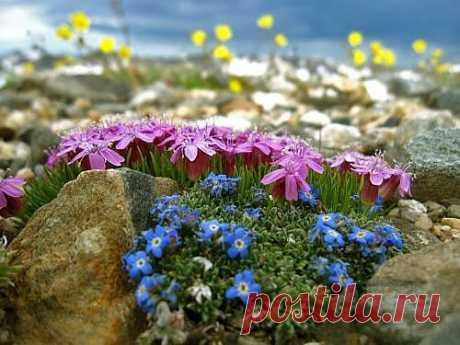 Растения для альпийской горки. Фото растений