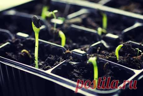 As it is correct to water seedling on a window sill, in the greenhouse and soil | Put garden (Огород.ru)