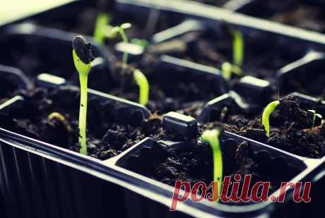 Как правильно поливать рассаду на подоконнике, в теплице и грунте   Дела огородные (Огород.ru)