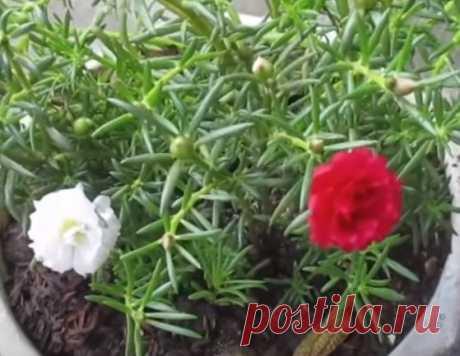 Что это за прелестное растение? Много-много завязывающихся бутонов на нём.