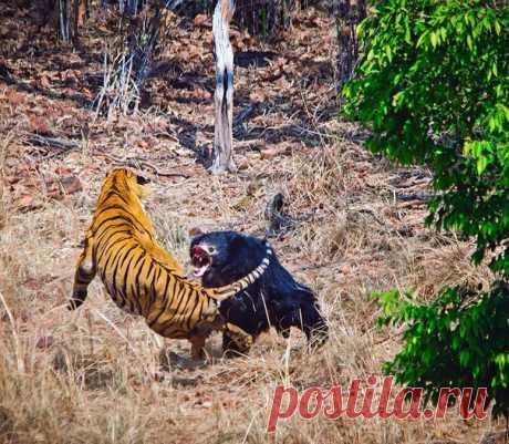 В схватке с тигром даже у взрослого губача шансов мало, но это не остановило медведицу, бросившуюся на защиту своего малыша. Рассказываем о драме со счастливым концом, развернувшейся в национальном парке Тадоба.