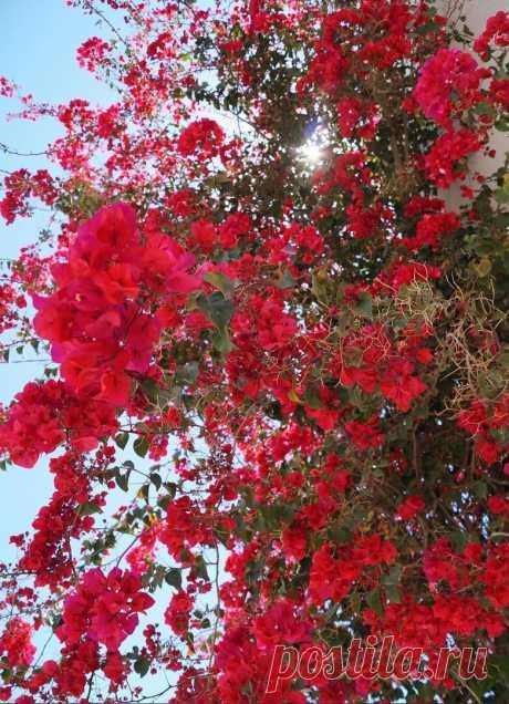 Вечнозелёное растение - бугенвиллия, кустарник высотой до 5 метров из Южной Америки с ярко окрашенными прицветниками, окружающими небольшие трубчатые цветки. Цветёт в Тунисе с ранней весны и до конца лета. Сами цветы маленькие, белого цвета, малозаметные, окружённые ярко окрашенными видоизменёнными листьями, называющиеся прицветниками. Прицветники бугенвиллеи бывают самого разного оттенка: от белого до фиолетовых, красных и оранжевых тонов.