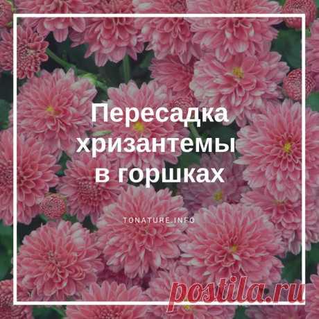 ПЕРЕСАДКА ХРИЗАНТЕМЫ В ГОРШКАХ  #toNatureInfo #КомнатныеРастения #Растения #Цветы #Хризантема #Пересадка #Высадка #Сад #Дача #ВыращиваниеХризантемы